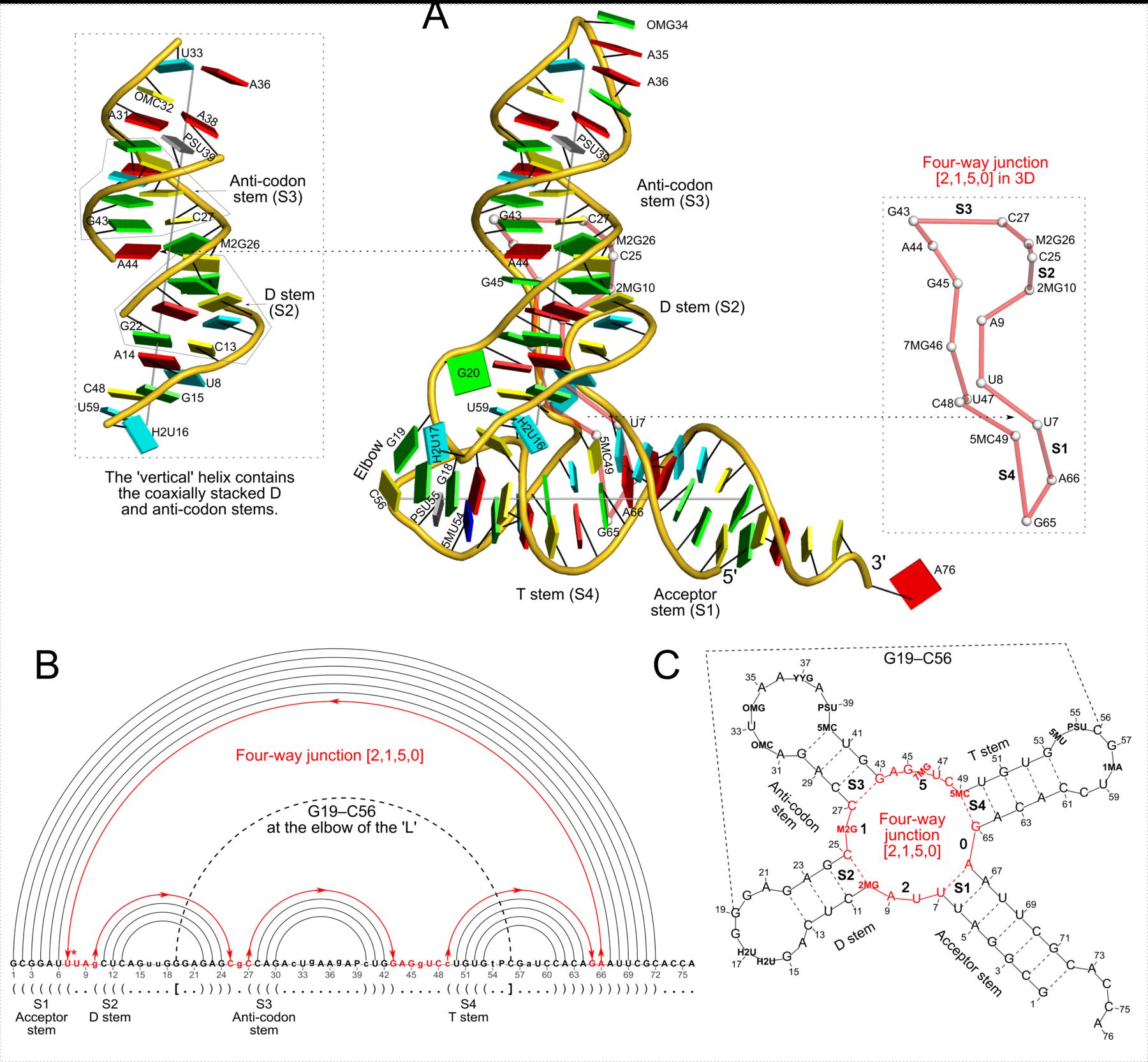 """""""DSSR analysis of the yeast phenylalanine tRNA (1ehz)"""" title=""""DSSR analysis of the yeast phenylalanine tRNA (1ehz)"""""""