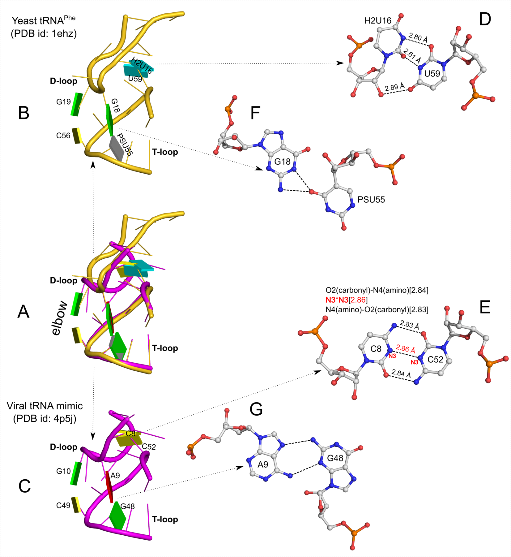 """Three similarly positioned base pairs hold the D- and T-loops of tRNA and its viral mimic in place"" title=""Three similarly positioned base pairs hold the D- and T-loops of tRNA and its viral mimic in place"""